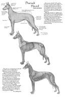 Pharaoh Hound Anatomy study by Faryndreyn