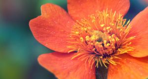 another orange flower by asia1573