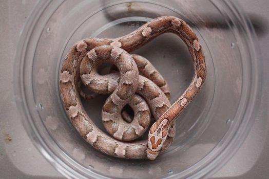 Strawberry Granite Corn Snake by icantthinkofaname-09