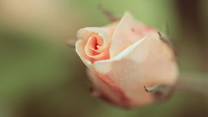 Rose by Aurelien-Minozzi
