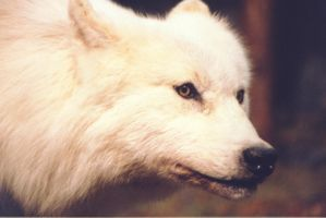Arctic Wolf by 1984MLR