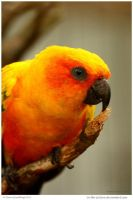 Conure Brings Sunshine by In-the-picture