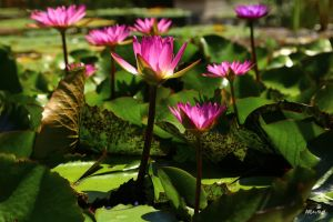 Water Lily  013 by Doumanis