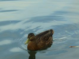 Mallard duck by Camalla