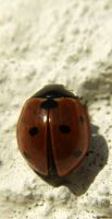 another ladybug by vw1956stock
