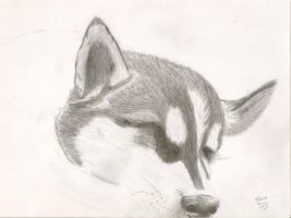 Husky Pup by eternal-darkness7