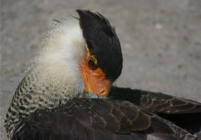 Southern Crested Caracara by Parides