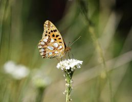 Queen of Spain fritillary (Issoria lathonia) by Skaldur
