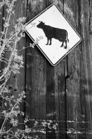 Cow Crossing by shortcake23