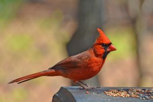 Young Male Cardinal 3-16-13 by Tailgun2009