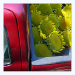Sunflowers in a Pickup Truck by f0rTyLeGz