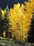 Aspen Trees by Brightstone