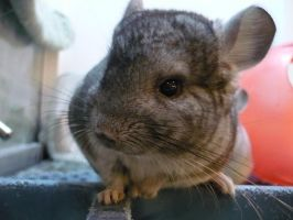 Chinchilla by LuringThrough