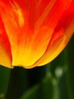 .tulip.II. by witchlady750