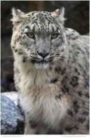 Snow Leopardess by In-the-picture
