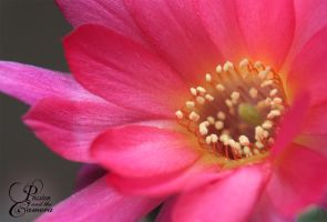 Pink Cactus Flower by PassionAndTheCamera