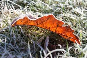 Frosty Leaf caught by the sun by KenBago