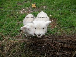 Lambys by AngelShadowRena