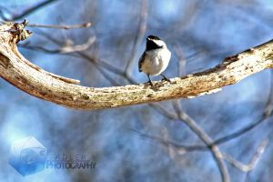 Chickadee Way Up High by shaguar0508