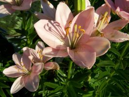 Pink Asiatic Lily 7 by racheltorres921