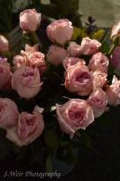 Pink Roses by sweir17