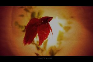 Betta by emreinstein