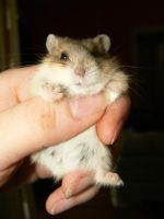 Mini Dwarf Hamster 2 by ShadedRain