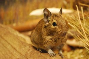 Degu 01 by punchedtoast