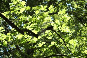 Green leaves in the sunlight by Bluebuterfly72