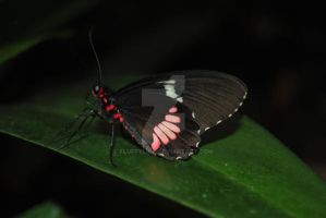 Small Postman (Heliconius erato) by fluffylink