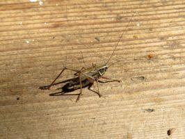 Bush cricket by Temansha