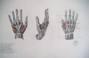 Muscles of hand by reinisgailitis