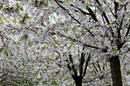 Among the Cherry Trees... by Dipiie