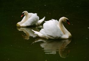 Swans by borda