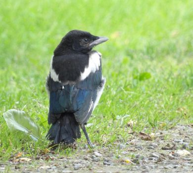 Posing Magpie by TeleviCat