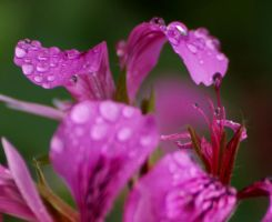 Purple flower drops by mohaganbev