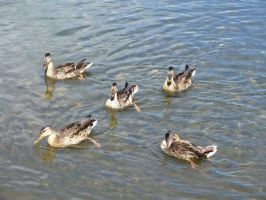 Ducks, in Formation by DokterDume