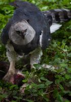 Harpy Eagle by biological