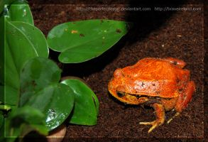 Tomato Frog 2 by theperfectlestat