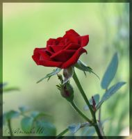 Tenderness of the Rose by Amrahelle