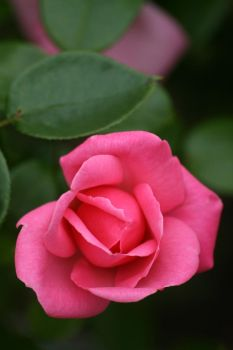 Pink rose II by Gothic-Dreamscapes