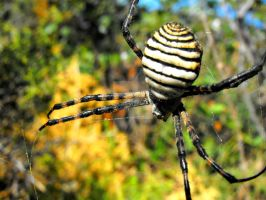 Banded Argiope by Faunamelitensis