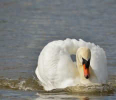 Swans 2014 2 7 by melrissbrook