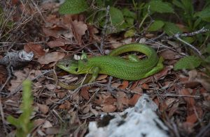 Green lezard by Ombresolaire