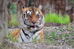 Tiger portrait 5.1 by NB-PhotoArt