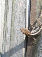 Brown Anole 39 by AxelHonoo