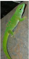 Madagascar Day Gecko by Della-Stock