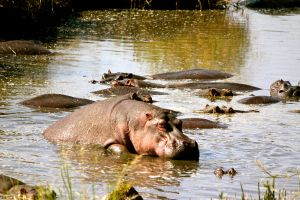 Hippos Mating by porpierita