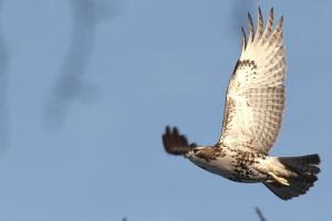 Red Tail Hawk by TakeTheShot61