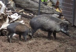 Warty Pig and Baby by dtf-stock